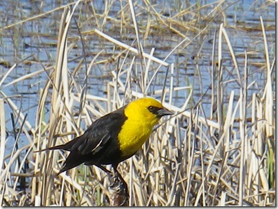 yellow headed blackbird 1
